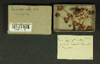 Inocybe leptocystis image