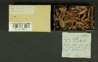 Inocybe mixtilis image