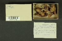 Inocybe xanthomelas image