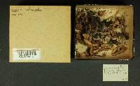Inocybe melanopoda image