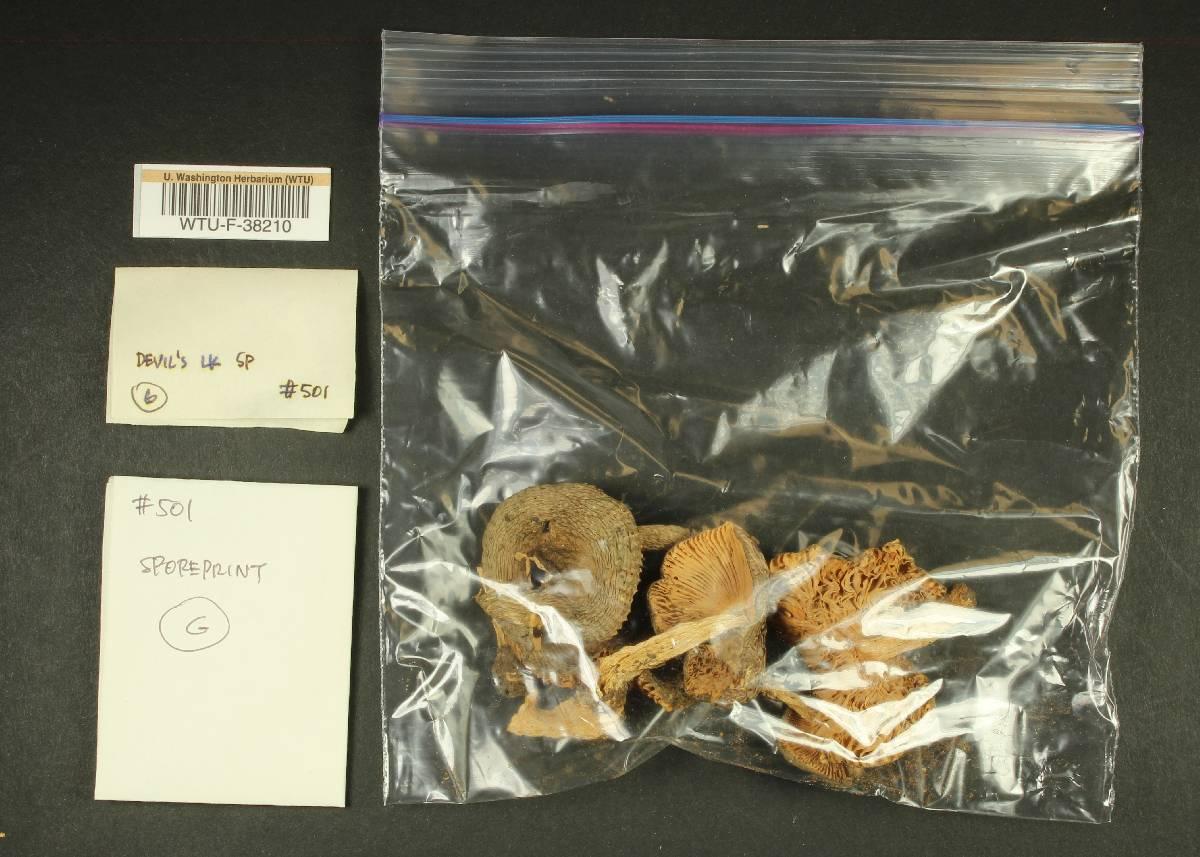 Russula zelleri image