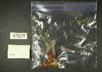 Russula cerolens image