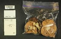 Russula vinososordida image