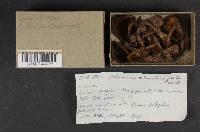 Cortinarius thiersii image