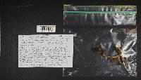 Cortinarius venetus image