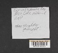 Cortinarius talus image