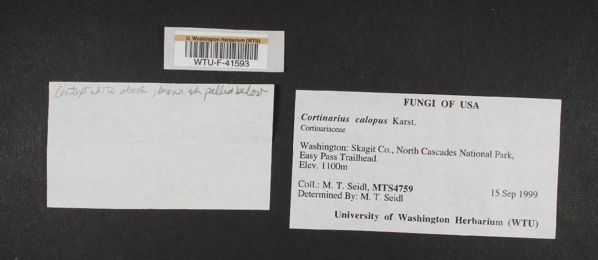 Cortinarius venustus image