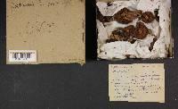 Cortinarius cinnamomeus image
