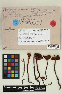 Phaeocollybia scatesiae image
