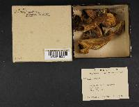 Boletus pseudo-olivaceus image