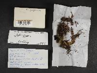 Collybia tuberosa image