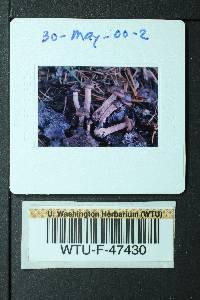 Cortinarius erythrinus image