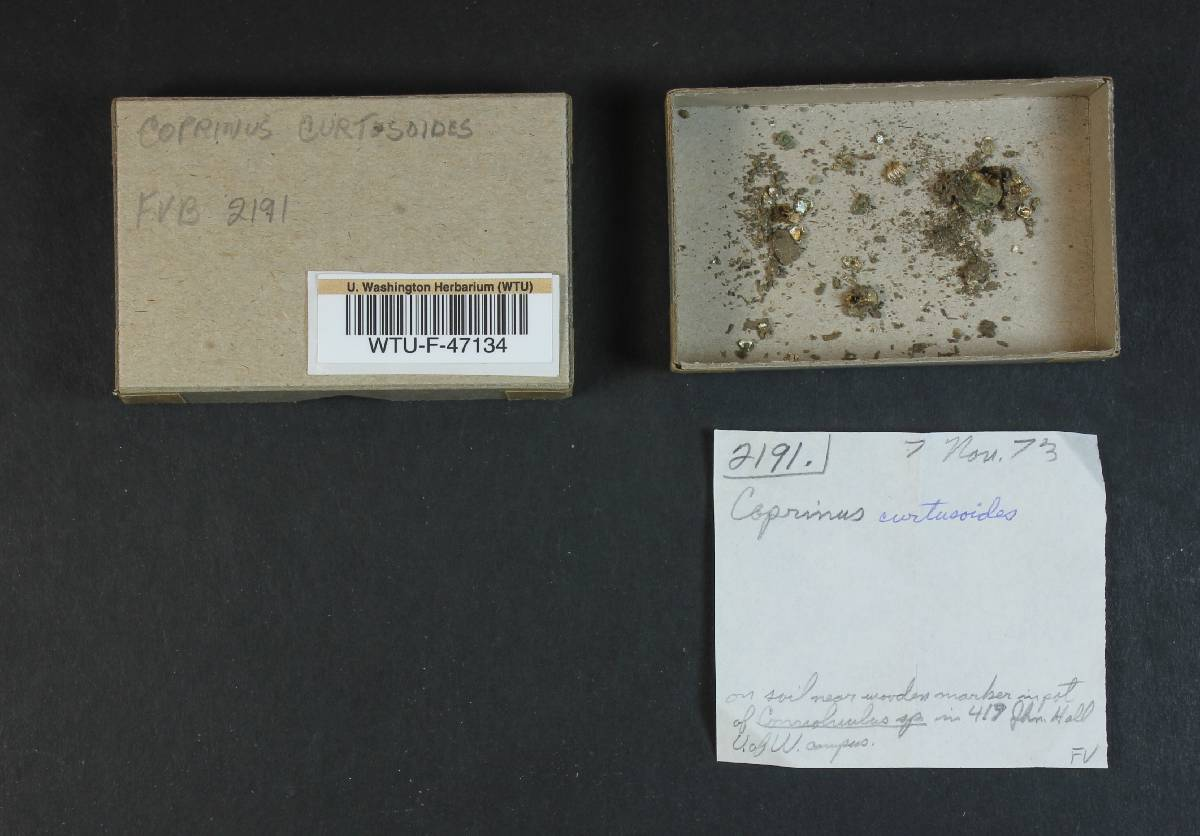 Coprinus curtusoides image