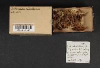 Cortinarius helvelloides image