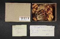 Marasmius polyphyllus image