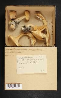 Leucopaxillus paradoxus image