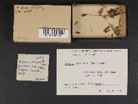 Mycena odorifera image