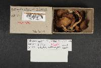 Psathyrella ellenae var. yubaensis image