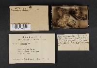 Russula sordida image