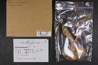 Russula consobrina image