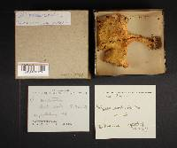 Polyporus cristatus image