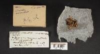 Clavaria corniculata var. corniculata image