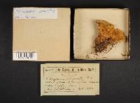 Mucronoporus circinatus image
