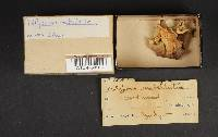 Polyporus umbellatus image