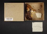 Inonotus hispidus image