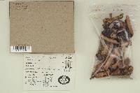 Agaricus smithii image