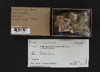 Lactarius glyciosmus image