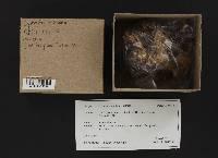 Gyromitra montana image
