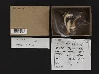Clitocybe albirhiza image