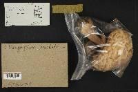 Chlorophyllum rachodes image