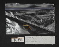 Clavicorona taxophila image