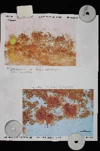 Flammulaster granulosus image