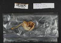 Inocybe lilacina image