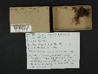 Mycena subplicosa image