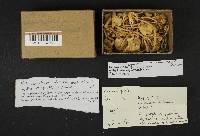 Leucocoprinus flavescens image