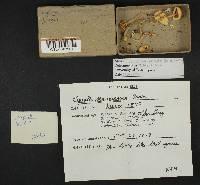 Leucoagaricus sericifer image