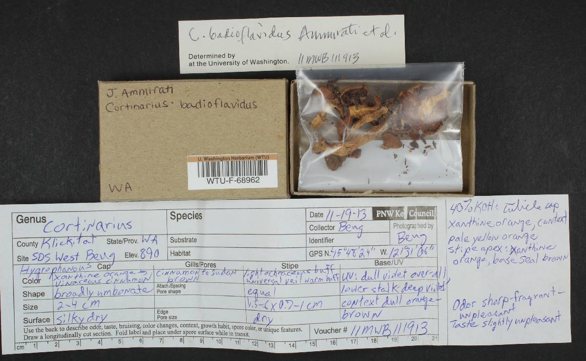 Cortinarius badioflavidus image