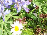 Amanita muscaria image