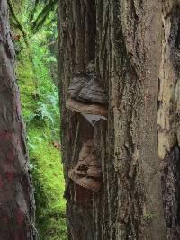 Ganoderma applanatum image