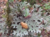Image of Pseudocyphellaria billardierei