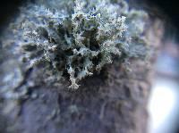 Teloschistes chrysophthalmus image