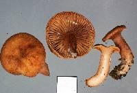 Image of Lactarius umerensis
