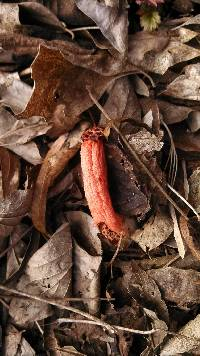 Lysurus periphragmoides image
