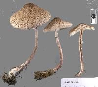 Macrolepiota clelandii image