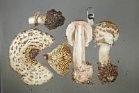 Chlorophyllum brunneum image