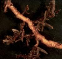 Image of Agaricus ochroleucus